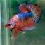 (ขายแล้วครับ)Fancy Orange Over ปลากัดครีบสั้น-Halfmoon Plakats thumbnail 7