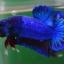 คัดเกรดปลากัดครีบสั้น-Halfmoon Plakat Fancy Blue Dragon thumbnail 3