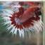 (ขายแล้วครับ)ปลากัดครีบยาวหางมงกุฏ-Crowntails Fancy thumbnail 7