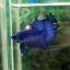 """(ขายแล้วครับ)""""คัดเกรด""""ปลากัดครีบสั้น-Halfmoon Plakats Super Fancy Blue thumbnail 3"""
