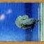 ปลากัดครีบสั้น - Halfmoon Plakats thumbnail 2