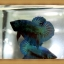 *ปลาเกรดพิเศษ* ปลากัดครีบสั้น - Halfmoon Plakats thumbnail 2