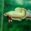 (ขายแล้วครับ)ปลากัดครีปสั้น - Fancy Halfmoon Plakats thumbnail 2