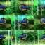 """(ขายแล้วครับ)""""คัดเกรด""""ปลากัดครีบสั้น-Halfmoon Plakats Fancy Super Grade thumbnail 2"""