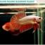 """(ขายแล้วครับ)""""คัดเกรด""""ปลากัดครีบสั้น-Halfmoon Plakats Orange Dragon thumbnail 5"""