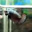 (ขายแล้วครับ)ปลากัดครีบสั้น-Halfmoon Plakats Dragon Copper thumbnail 2