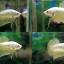 """(ขายแล้วครับ)""""คัดเกรด""""ปลากัดครีบสั้น-Halfmoon Plakats Gold Dragon thumbnail 1"""