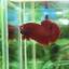 """(ขายแล้วครับ)""""คัดเกรด""""ปลากัดครีบสั้น-Halfmoon Plakats Super Red#1 Grade B+ thumbnail 5"""