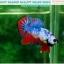 """(ขายแล้วครับ)""""คัดเกรด""""ปลากัดครีบสั้น-Halfmoon Plakats Fancy Dragon Nice colors thumbnail 4"""