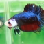 (ขายแล้วครับ)ปลากัดครีบสั้น-Fancy Halfmoon Plakats thumbnail 5