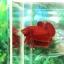 """(ขายแล้วครับ)""""คัดเกรด""""ปลากัดครีบสั้น-Halfmoon Plakats Super Red#2 Grade B+ thumbnail 2"""