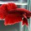 """(ขายแล้วครับ)""""คัดเกรด""""ปลากัดครีบสั้น-Halfmoon Plakats Red thumbnail 3"""