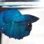 ปลากัดครีบยาวหางพระจันทร์ครึ่งดวง - Halfmoon Premium Quality Grade Super BlueGreen thumbnail 3