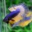 ปลากัดครีบยาว-Halfmoon Yellow Mustrad Premium Quality Grade AAA+ thumbnail 2