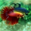 (ขายแล้วครับ)ปลากัดครีบยาวหางมงกุฎ-Crowntails Red thumbnail 7