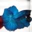 ปลากัดครีบยาวหางพระจันทร์ครึ่งดวง - Halfmoon Premium Quality Grade Super BlueGreen thumbnail 1