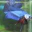 """(ขายแล้วครับ)""""คัดเกรด""""ปลากัดครีบสั้น-Halfmoon Plakats Fancy Blue thumbnail 6"""