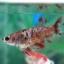 """(ขายแล้วครับ)""""คัดเกรด""""ปลากัดครีบสั้นตัวเมีย-Female Halfmoon Plakats Fancy Red Koi thumbnail 6"""