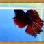 ปลากัดครีบยาว - Fancy Halfmoon thumbnail 2