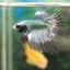 (ขายแล้วครับ)ปลากัดครีบยาวหางมงกุฏ-Crowntails Fancy Copper thumbnail 5