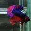 ปลากัดคัดเกรดครีบสั้น - Halfmoon Plakad Fancy Dragon (Red Blue) Quality Grade AAA+ thumbnail 1