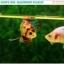 """(ขายแล้วครับ)""""คัดเกรด""""ปลากัดครีบสั้น-Halfmoon Plakats Fancy Koi Quality Grade thumbnail 12"""