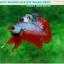"""(ขายแล้วครับ)""""คัดเกรด""""ปลากัดครีบสั้น-Halfmoon Plakats Fancy Dragon Red Devil thumbnail 6"""