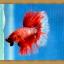 ปลากัดครีบยาว - Halfmoon thumbnail 11