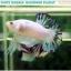 """(ขายแล้วครับ)""""คัดเกรด""""ปลากัดครีบสั้น-Halfmoon Plakats Fancy Marble Quality Grade thumbnail 8"""