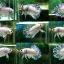 """(ขายแล้วครับ)พ่อพันธุ์พิเศษ""""คัดเกรด""""ปลากัดครีบสั้น-Halfmoon Plakats Fancy Marble thumbnail 2"""