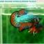 """(ขายแล้วครับ)""""คัดเกรดประกวด""""ปลากัดครีบสั้น-Over Halfmoon Plakats Fancy Dragon Green Orange Quality Grade thumbnail 3"""