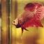 """(ขายแล้วครับ)มังกรแดง""""คัดเกรด""""ปลากัดครีบสั้น-Halfmoon Plakats Red Dragon thumbnail 3"""