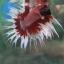 (ขายแล้วครับ)ปลากัดครีบยาวหางมงกุฏ-Crowntails Fancy thumbnail 2