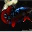 ซามูไร คัดเกรดปลากัดครีบสั้น-Halfmoon Plakat Red - BlackBlue Samurai thumbnail 2