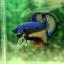 """(ขายแล้วครับ)""""คัดเกรด""""ปลากัดครีบสั้น-Halfmoon Plakats Fancy Super Grade thumbnail 12"""