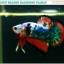 """(ขายแล้วครับ)""""คัดเกรด""""ปลากัดครีบสั้น-Halfmoon Plakats Fancy Dragon thumbnail 3"""