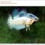 คัดเกรดปลากัดครีบสั้น-Halfmoon Plakat Fancy Nice Marble Dragon thumbnail 6