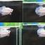 ปลากัด Short Body-Halfmoon Plakats Fancy thumbnail 1