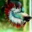 (ขายแล้วครับ)ปลากัดครีบยาวหางมงกุฎ-Crowntails06 thumbnail 1