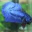 (ขายแล้วครับ)ปลากัดครีบสั้น - Halfmoon Plakats SUPER BLUE thumbnail 7