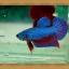ปลากัดครีบสั้น - Fancy Halfmoon Plakats thumbnail 3