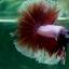 """(ขายแล้วครับ)""""คัดเกรด""""ปลากัดครีบยาว-Halfmoon BF Lavender Fancy thumbnail 9"""