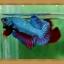 ปลากัดครีบสั้น - Fancy Halfmoon Plakats thumbnail 4