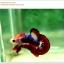 คัดเกรดปลากัดครีบสั้น-Hi- Quality Halfmoon Plakat Fancy Red Black Eye Quality Grade thumbnail 5