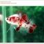 คัดเกรดปลากัดครีบสั้น-Halfmoon Plakat Fancy Red Koi thumbnail 1
