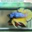 """""""คัดเกรด""""ปลากัดครีบสั้น-Halfmoon Plakats Fancy Green Mustard Grade A thumbnail 1"""