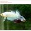 คัดเกรดปลากัดครีบสั้น-Halfmoon Plakat Fancy Nice Marble Dragon thumbnail 5