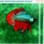 """(ขายแล้วครับ)""""คัดเกรดประกวด""""ปลากัดครีบสั้น-Over Halfmoon Plakats Fancy Dragon Green Red Quality Grade thumbnail 4"""