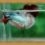 ปลากัดครีบสั้น - Fancy Halfmoon Plakats thumbnail 1