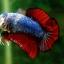 (ขายแล้วครับ)ปลากัดครีบสั้น-Halfmoon Plakats Fancy Dragon thumbnail 4